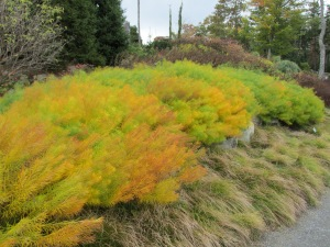 Did you know it changes color in the fall.  In the deep south grass just dies from the heat of August/September.  I have had such a sheltered life.