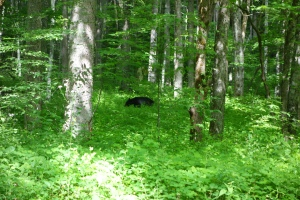Black Bear Sighting in Cades Cove