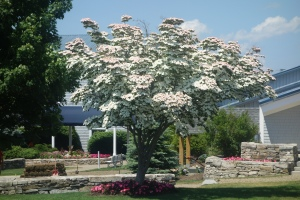 Korean Dogwood Tree blooming in July in Maine