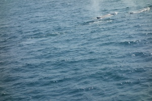 Whales off shore from Bar Harbor