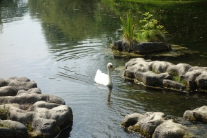 All the Swans in the UK are owned by the Queen of England.  This one is in Ireland, so she is free.