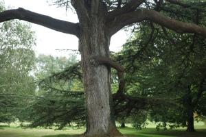 Atlas Cedar:  Magnificant