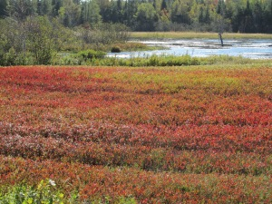 Blueberry Barren Wild blueberries turn red in the fall)