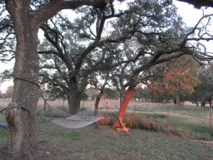 Live Oak Trees do not get very large in TX