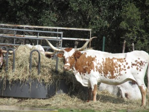 Texas Long Horn Cattle, Spectacular and LARGE