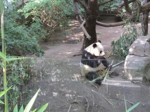 Panda:  San Diego ZOO
