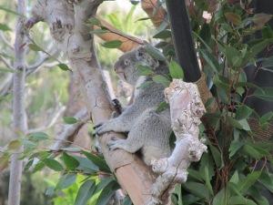 Koala:  San Diego ZOO
