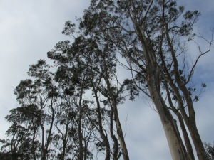 Eucalyptus groves (the fragrance was wonderful)