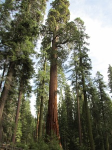 Sequoia the Magnificent