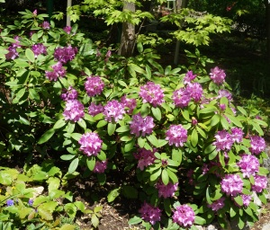 Rhododendron (lavender)