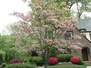Stately Southern Dogwood Knoxville, TN