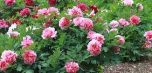iowa flower