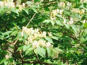 wild azalea
