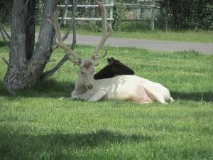 A rare white elk