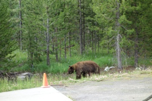 Black Bear next to our dorm