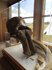 Mammoth skull and tusks