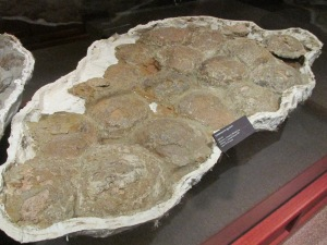 A perfectly preserved nest of dinosaur eggs