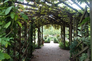 Grapes covering a large pergola