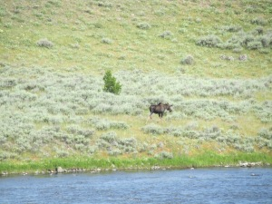Moose by the Snake River